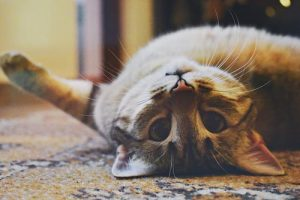 CBD Oil for Cats with Kidney Disease