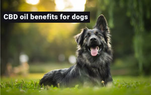 CBD oil benefits for dogs
